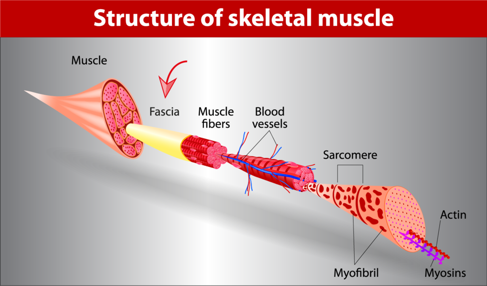 Fascia structure of muscle
