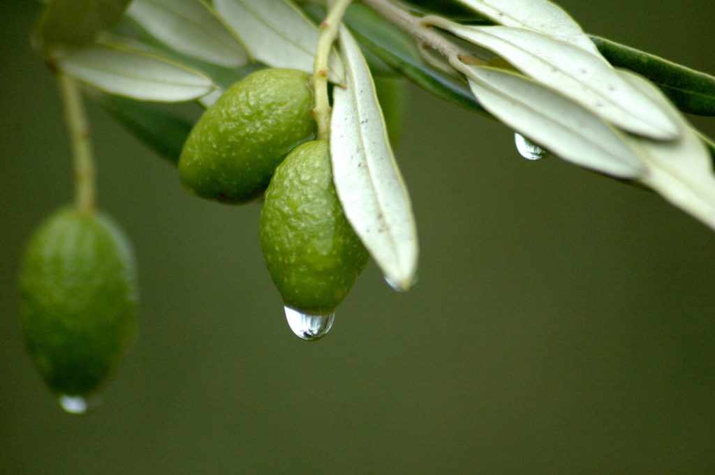side effects of olive leaf extract