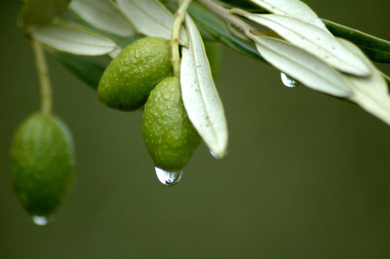 Olive Leaf Extract Side Effects Amp Benefits Topstretch